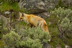 Still searching (ChicagoBob46) Tags: redfox fox yellowstone yellowstonenationalpark nature wildlife