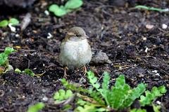 Dr Lester Shalloway Bachman's Sparrow 2