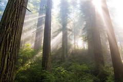 Del Norte Redwoods (Jami Bollschweiler Photography) Tags: sunrise del norte redwoods california landscape photography beautiful light redwood