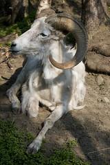 Dall sheep Alaska Zoo Anchorage