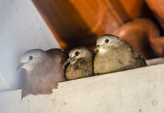 Family - Joinville/SC - Brasil (Gilberto Russo) Tags: family familia gilbertorusso nikon d5100 birds passaros joinville sc santacatarina brasil