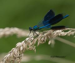 Weidebeekjuffer (man) (jeannette.dejong) Tags: limburg libelle weidebeekjuffer blauw beige groen ngc naturelovers nederland