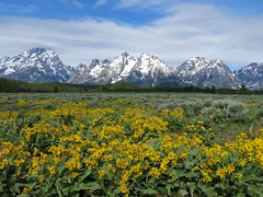 Grand Teton Wildflowers (Explored) (claypeoples) Tags: flower flowers wildflower wildflowers yellow mountain mountains rockies teton tetons snow clouds grandteton nationalpark wyoming bloom arrowleafbalsamroot