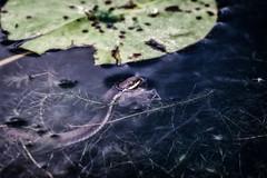 watersnake (david_sharo) Tags: nature wildlife moraine pennsylvania