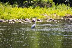 2U7A2390 (rpealit) Tags: scenery wildlife nature east hatchery alumni field great blue heron bird