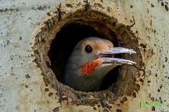 IMG_7337 male northern flicker (starc283) Tags: starc283 flickr flicker canon canon7d bird birding birds wildlife colorado nature naturesfinest northernflicker
