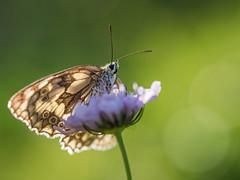 Basking (Damian_Ward) Tags: ©damianward buckinghamshire bucks naturereserve countryside rural astonclintonragpits butterfly butterflies lepidoptera macro marbledwhite melanargiagalathea