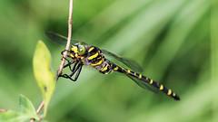 Golden-ringed Dragonfly. - Cordulegaster boltonii (jaytee27) Tags: goldenringeddragonflymale cordulegasterboltonii naturethroughthelens