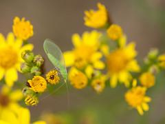gaasvlieg - green lacewing (de_frakke) Tags: green groen gaasvlieg lacewing sintjacobskruid insect nature
