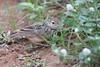 Jerden's Bushlark (Greencraftingkid) Tags: himayatsagar naturewalk birding rain