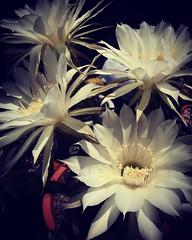 Cactus Flowers Los Angeles Cactus & Succulent Society Plant Show & Sale 2017 (lacactus.com) Spent an hour or so at the show on Saturday checking out all the great vendors and plants. #flowers #cactus #succulents #garden #plants #nature #LA #losangeles #ca (dewelch) Tags: ifttt instagram cactus flowers los angeles succulent society plant show sale 2017 lacactuscom spent an hour or saturday checking out all great vendors plants succulents garden nature la losangeles california iglosangeles losangelesgram whereamila instalosangeles caligrammers lagrammers losangelesgrammers discoverla conquerla unlimitedlosangeles californiacaptures uglagrammers iggarden flowersofinstagram flowerstagram treestagram rainbowpetals plantstagram