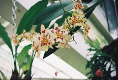 White Stars (felixxalexander) Tags: whiteflowers flower starshapedflowers starflowers kewgardens whiteandredflowers orchids summer greenhouse