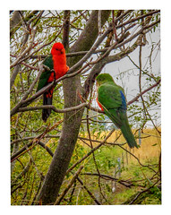 King Parrots (Explored). (TOXTETH L8) Tags: kingparrots tree orange nsw australia landofparrots mate