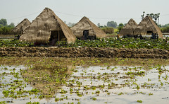 Cambodian Countryside - Photo #31 (doug-craig) Tags: cambodia cambodia20170129dng asia chongkneas tonlesap siemreap culture lotus stock nikon d7000 journalism photojournalism dougcraigphotography