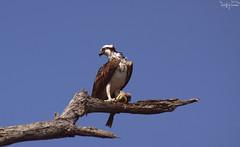 IMGP7522_WM (F.emme) Tags: birds bolsachicaecologicalreserve bolsachica bolsachicawetlands osprey birdsofprey fisheagle seahawk riverhawk fishhawk raptor