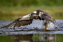 "Osprey (coopsphotomad) Tags: osprey bird ""bird prey"" raptor migrant visitor scotland animal wildlife nature flight hunting fishing fish water spray bokeh lake pond wet"