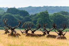 Men Only (George Plakides) Tags: deer richmondpark london antlers outline morning nikonflickraward