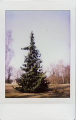 A spruce (europics) Tags: spruce tree park lapinlahti left helsinki finland