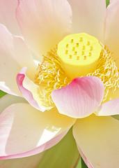 Lotus detail (hennessy.barb) Tags: lotus bloom blossom flower lotusdetail petals stigma nelumbonucifera