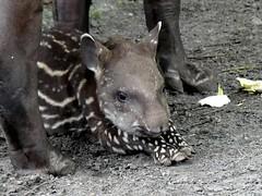 Tapir Baby Tupi ❤ (BrigitteE1) Tags: tapirbabytupi tapir baby tupi flachlandtapir südamerikanischertapir tapirusterrestris southamericantapir animal zoo jaderpark jaderberg deutschland germany babytapir specanimal