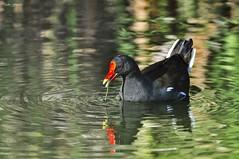 Gallinula chloropus (Peideluo) Tags: bird birds naturaleza nature animals aves pájaro ave