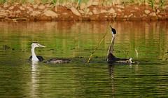 Je m'amuse...I'm having fun... (Bangui59) Tags: grèbehuppé podicepscristatus greatcrestedgrebe birds waterbirds re ex
