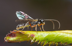 Ichneumon wasp (alf.branch) Tags: wasp ichneumon ichneumonwasp insects insect invertibrate macro macrodreams closeup alfbranch olympus olympusomdem1 omd sigma sigma105f28 flash homemadediffuser nissindi466 tryphoninae