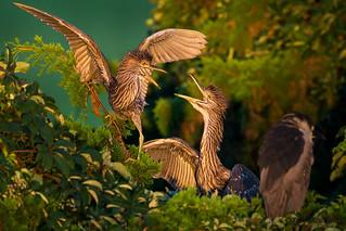 Juvenile Black-crowned Night-Herons