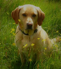 Growing and Glowing..x (Lisa@Lethen) Tags: dog labrador expecting puppies pet sunshine sunny