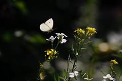Destination (herman hengelo) Tags: butterfly garden hengelo thenetherlands koolwitje