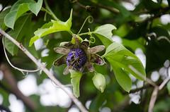 Passiflora platyloba (Is there a spell that I am under...) Tags: passiflora passifloraplatyloba passionfruit wildpassionfruit nativespeciespanama panama panamanature naturepanama