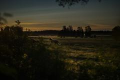 Horses wakeup call (Ludwig Ohlson) Tags: finland scandinavia sunrise samyang 50mm xe2 fujifilm nordic summer midnightsun nature horse horses