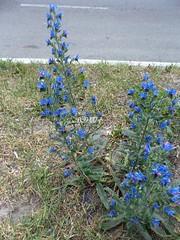 Трохи кольору / A little bit of color (ruta / рута) Tags: blue flower urbannature