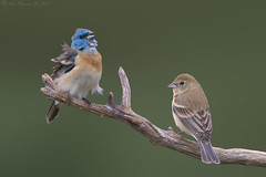 Lazuli Bunting pair (Ken Phenicie Jr.) Tags: lazulibunting pair male female hollister