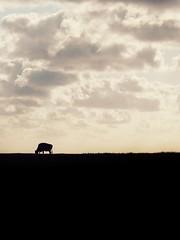 Cow on dike (FloHimself) Tags: canonpowershotg11 snapseed