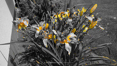 DSC00621 (Aldona Induła) Tags: hoyafilters sony a6000 bezedycji daylily flower garden hemmerocallis kwiat liliowiec ndx8filter notedited ogród prostozaparatu straightfromthecamera