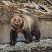 Grizzly Lamar River (eddm1962) Tags: lamarriver lamarvalley yellowstone yellowstonenationalpark bear grizzlybear