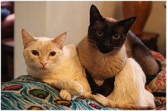 Ruby and Leroy (BalineseCat) Tags: ruby leroy seal point red flame cats siamese