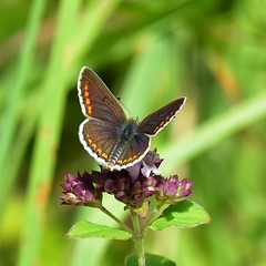 The Brown Argus Butterfly