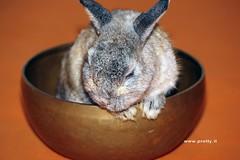 1 (Protty coniglio nano) Tags: coniglio conigli protty bunny bunnies rabbit rabbits kaninchen lapin coniglietti coniglionano prottyit coniglinani oryctolagus oryctolaguscuniculus