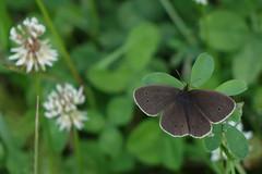 DSC03294_bearbeitet-1 (waltsphoto) Tags: schmetterling tagfalter insekt sommer