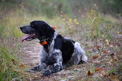 Jana (Mystycat =^..^=) Tags: chien dog hund setteranglaisbluebelton perro chasse hunt