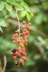 Raspberry (aaamsss) Tags: raspberry mora fruit nature summer