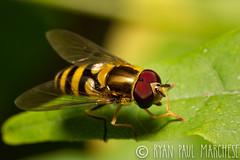 Transverse Flower Fly (rpm pictures) Tags: animal animals backyard bugs canon compoundeyes eyes fly flying insects july kenko macro mimic nature newjersey nj rpm rpmphoto rpmphotography rpmpictures ryanpaulmarchese ryanpaulmarchesephotography summer transverseflowerfly wildlife