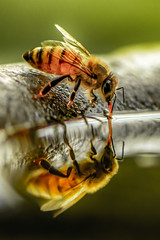 Bee Drink Reflection (Neil_Wagner) Tags: bee refelction water drinking