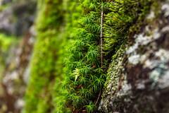 Moss (toasterzo) Tags: moss macro explore hiking upclose bluredbackground nature beauty pnw pnwonderland