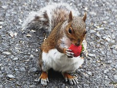 Strawberry Fields Forever? (caren (Thanks for 2.0 Mio+ views)) Tags: greysquirrel graueseichhörnchen sciuruscarolinensis wildlife fruit hmm strawberry closeup village baby babysquirrel pretty cute