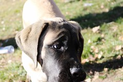 """Chewed up shoe???? What color was that shoe""? ""Nope no idea watch your talking about"" English Mastiff Puppy Puppies Expression Dog (milehighfordguy) Tags: englishmastiff puppy puppiesexpression dog"