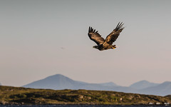 Havørn-0661 (jarud) Tags: 2017 eagle fugl havørn naturopplevelser norge norway smøla whitetailed ørn