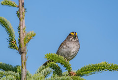 White-throated Sparrow, Cochrane Pond Road (frank.king2014) Tags: whitethroatedsparrow
